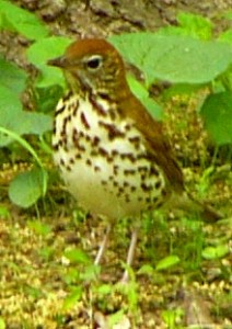 woodthrush11