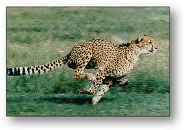 leopard spring