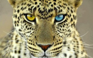 leopard two dif eyes