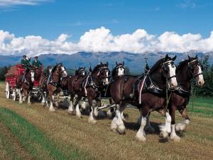 horse bud weiser team