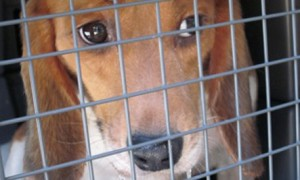 beagle-behind-bars