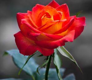 rose cropped