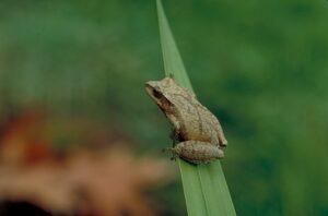 Spring-peeper-tree-frog-13508