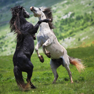 fighting-horses_1854144i