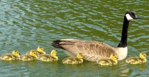 goslings08