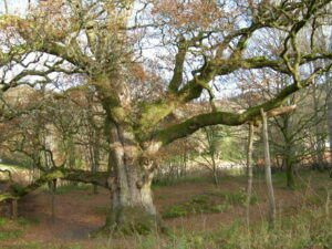 The Birnam Oak, of Birnam Forest fame.