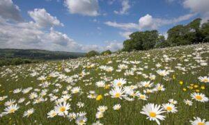 Oxe eye daisies at Aldbury Nowers in Hertfordshire