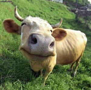 blog happy cow