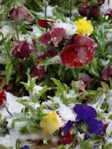 blog pansies in snow
