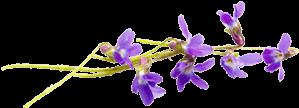 image of a violet